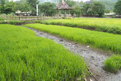 Campo tailandés del arroz Imagen de archivo libre de regalías