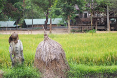 Campo tailandés del arroz fotografía de archivo libre de regalías