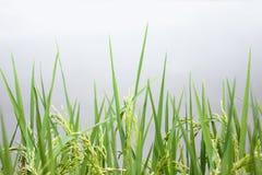Campo tailandés del arroz en fondo claro Fotos de archivo