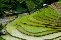 Campo terraced bonito do arroz em MU Cang Chai, Vietname Imagem de Stock Royalty Free