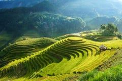 Campo Terraced do arroz na estação da colheita em MU Cang Chai, Vietname Destino popular do curso de Mam Xoi foto de stock