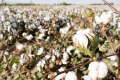 Campo Texas Agriculture Cash Crop dell'azienda agricola della capsula del cotone immagini stock libere da diritti