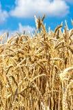Campo trito e ritrito giallo con cielo blu e le nuvole bianche di estate - agricoltura ceca - pianta ecologica di cereale e di az Fotografia Stock