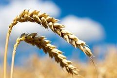 Campo trito e ritrito giallo con cielo blu e le nuvole bianche di estate - agricoltura ceca - pianta ecologica di cereale e di az Immagine Stock Libera da Diritti