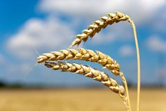Campo trito e ritrito giallo con cielo blu e le nuvole bianche nell'agricoltura ceca di estate - agricoltura ecologica e cereale Immagini Stock