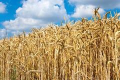 Campo trito e ritrito giallo con cielo blu e le nuvole bianche nell'agricoltura ceca di estate - pianta ecologica di cereale e di Fotografia Stock Libera da Diritti