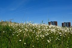 Campo urbano delle margherite un giorno soleggiato con i cieli blu Immagine Stock