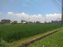 Campo urbano do arroz imagens de stock royalty free