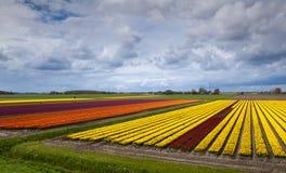 Campo variopinto con i tulipani fotografie stock libere da diritti