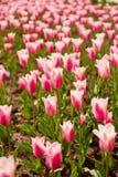 Campo variopinto dei tulipani Immagine Stock Libera da Diritti