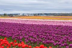 Campo variopinto del tulipano Fotografie Stock Libere da Diritti