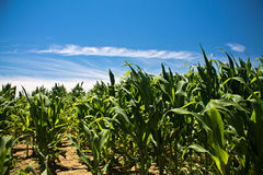 Campo variopinto meraviglioso di cereale in cielo blu di estate come sfondo naturale Fotografia Stock