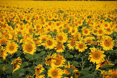 Campo vasto dos girassóis na flor completa Foto de Stock