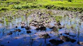 Campo vazio do arroz em um vale vídeos de arquivo