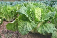 Campo vegetal Imagen de archivo