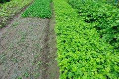 Campo vegetal verde Foto de Stock
