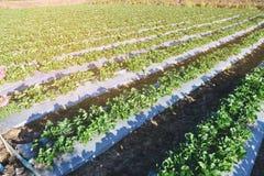 Campo verde agricolo in Tailandia Cibo della frutta sana Immagine Stock