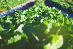 Campo verde agricolo in Tailandia Cibo della frutta sana Fotografie Stock