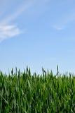 Campo verde bajo el cielo azul Imagen de archivo libre de regalías