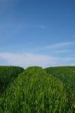 Campo verde bajo el cielo azul Fotos de archivo libres de regalías