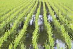 Campo verde, campo di risaia dell'Asia Fotografie Stock Libere da Diritti