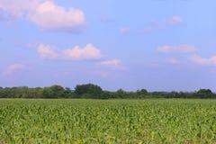 Campo verde claro con maíz y árboles Foto de archivo