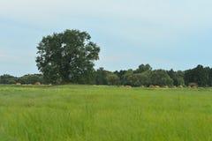 Campo verde com árvore Imagem de Stock Royalty Free