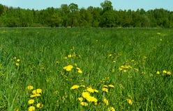 Campo verde com dentes-de-leão amarelos Imagem de Stock