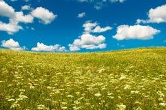 Campo verde com flores de florescência e o céu azul Fotos de Stock