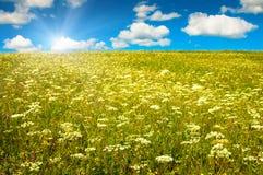 Campo verde com flores de florescência e o céu azul Fotografia de Stock