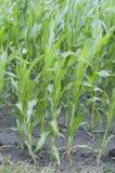 Campo verde com milho Fotografia de Stock Royalty Free