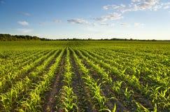 Campo verde com milho novo foto de stock