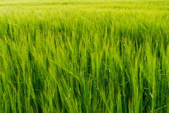 Campo verde completamente do trigo imagens de stock