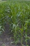 Campo verde con cereale Fotografia Stock