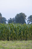 Campo verde con cereale Fotografie Stock Libere da Diritti