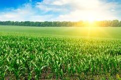 Campo verde con cereale Cielo nuvoloso blu ed alba Immagine Stock Libera da Diritti