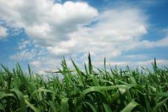 Campo verde con cielo blu e le nubi Fotografia Stock