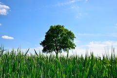 Campo verde con el árbol solitario Foto de archivo libre de regalías