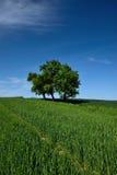 Campo verde con el árbol solitario Fotos de archivo