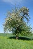 Campo verde con el flor solitario de la manzana del árbol Imagen de archivo libre de regalías