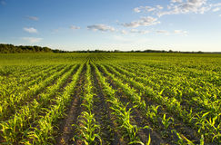 Campo verde con giovane cereale Fotografia Stock