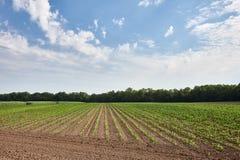Campo verde con giovane cereale Immagine Stock Libera da Diritti