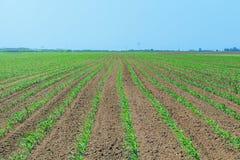 Campo verde con giovane cereale Campo di grano verde di file Immagini Stock