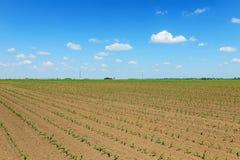 Campo verde con giovane cereale Campo di grano verde di file Fotografia Stock