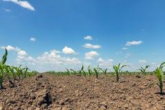 Campo verde con giovane cereale Campo di grano verde di file Immagine Stock