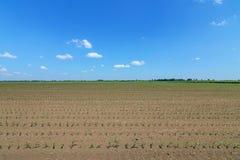 Campo verde con giovane cereale Campo di grano verde di file Fotografie Stock