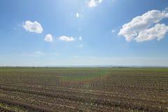 Campo verde con giovane cereale Campo di grano verde di file Immagine Stock Libera da Diritti