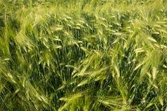 Campo verde con grano non maturo Fotografia Stock