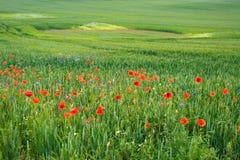 Campo verde con i fiori rossi    Fotografia Stock