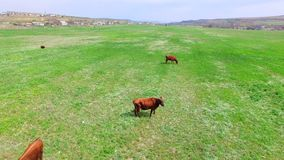 Campo verde con il gregge delle mucche video d archivio